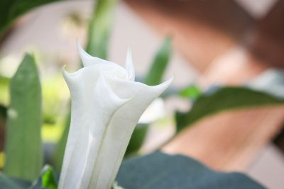 Blüte vom Stechapfel (Datura)