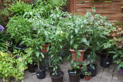 Chili-Pflanzen auf dem Sitzplatz