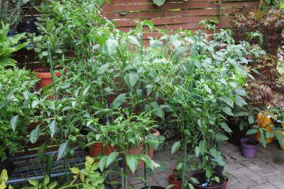 Chili- & Paprika-Pflanzen