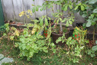 Kartoffeln im Pflanzsack
