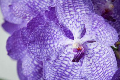 Details Vandablüte Sansai Blue