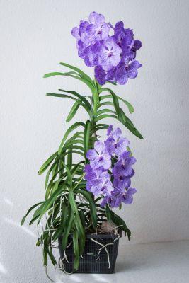 30 Blüten an Vanda Sansai Blue