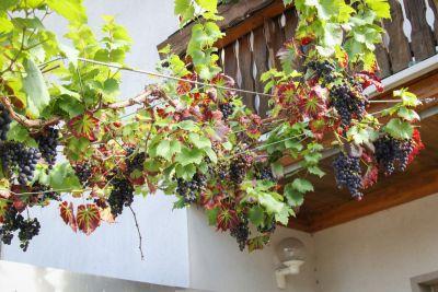 Weintraube Königliche Esther