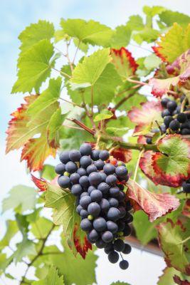 Perfekten Weintrauben