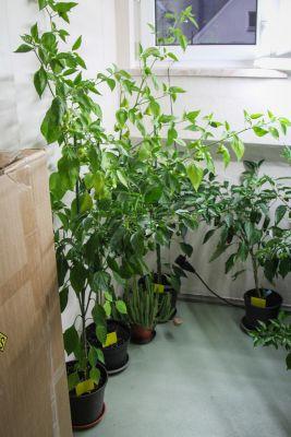 Chili-Pflanzen überwintern