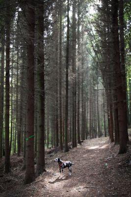 Fleckentier im Wald