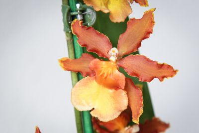 Colmanara Catatante 'Pacific Sunspots'