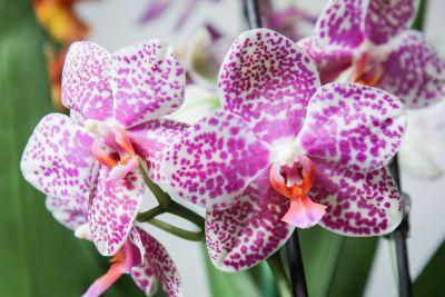 Phalaenopsis Vera 4