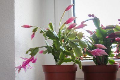 Weihnachtskaktus Pflanze rosa