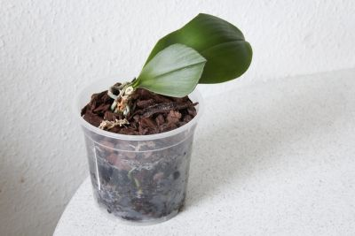 Phalaenopsis mit Schnittstellen