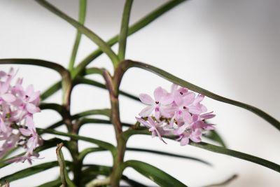 Zarte rosafarbene Blüte