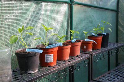 Chilipflanzen im Gewächshaus