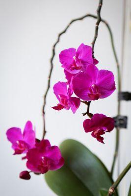 Phalaenopsis Hybride pink