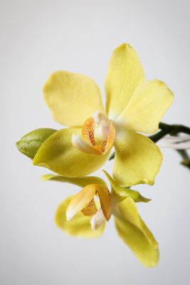 Phalaenopsis Hybride gelb
