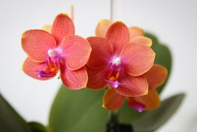 Duft-Phalaenopsis orange