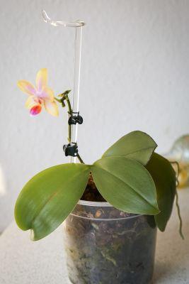 Infizierte Phalaenopsis ein Jahr später