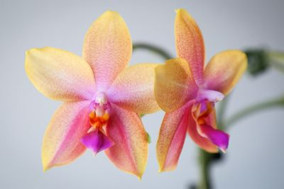 Duft-Phalaenopsis Liodoro