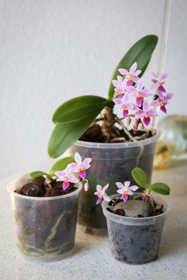 Phalaenopsis equestris Familie
