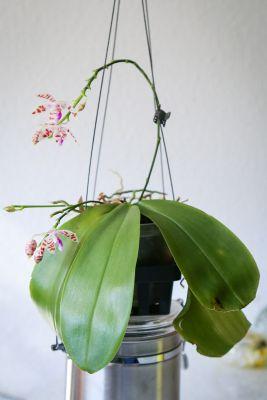 Phalaenopsis tetraspis x mariae