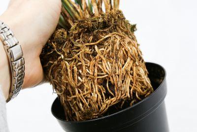 Wurzelballen der Pflanze