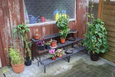Jiaogulan und Gespensterpflanze