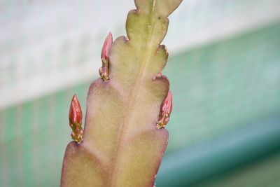 Epiphyllum 'Frühlingspracht'