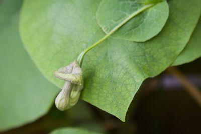 Knospen Pfeifenwinde (Aristolochia macrophylla)