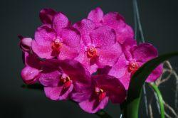 Vanda Pink Beauty Blütentrieb