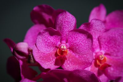 Vanda Pink Beauty Detail