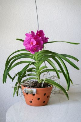 Vanda Pink Beauty im Tontopf