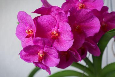 Vanda Pink Beauty