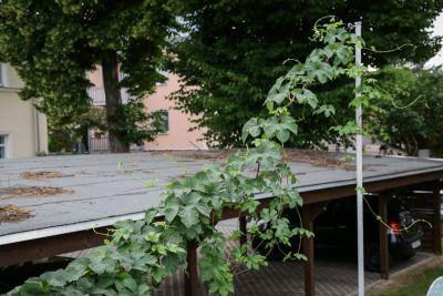 Kletternde Hopfenpflanze