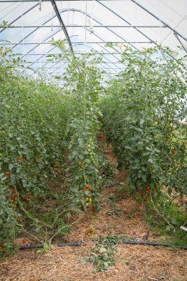 Tomaten Biogärtnerei Auenhof