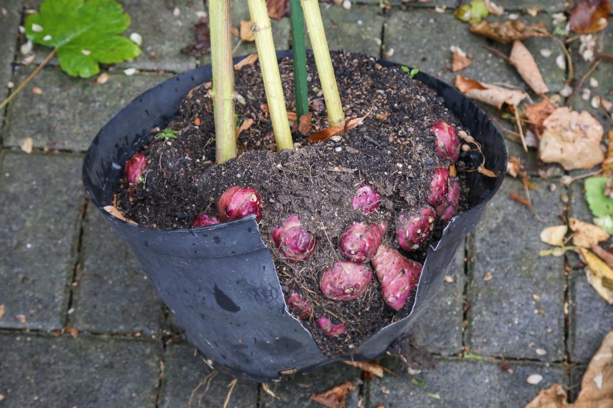garten abernten k belpflanzen einwintern majas pflanzenblog. Black Bedroom Furniture Sets. Home Design Ideas