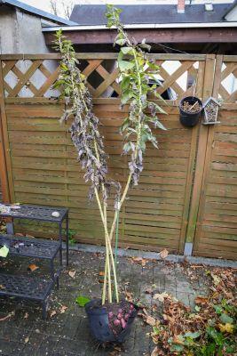Ganze Topinambur-Pflanze