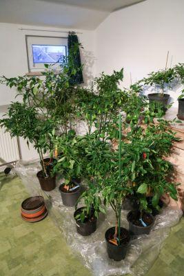 Chilipflanzen überwintern