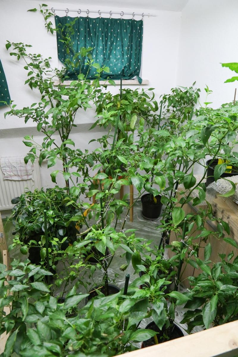 chilis berwintern blattl use trauerm cken bek mpfen winter 2017 2018 majas pflanzenblog. Black Bedroom Furniture Sets. Home Design Ideas