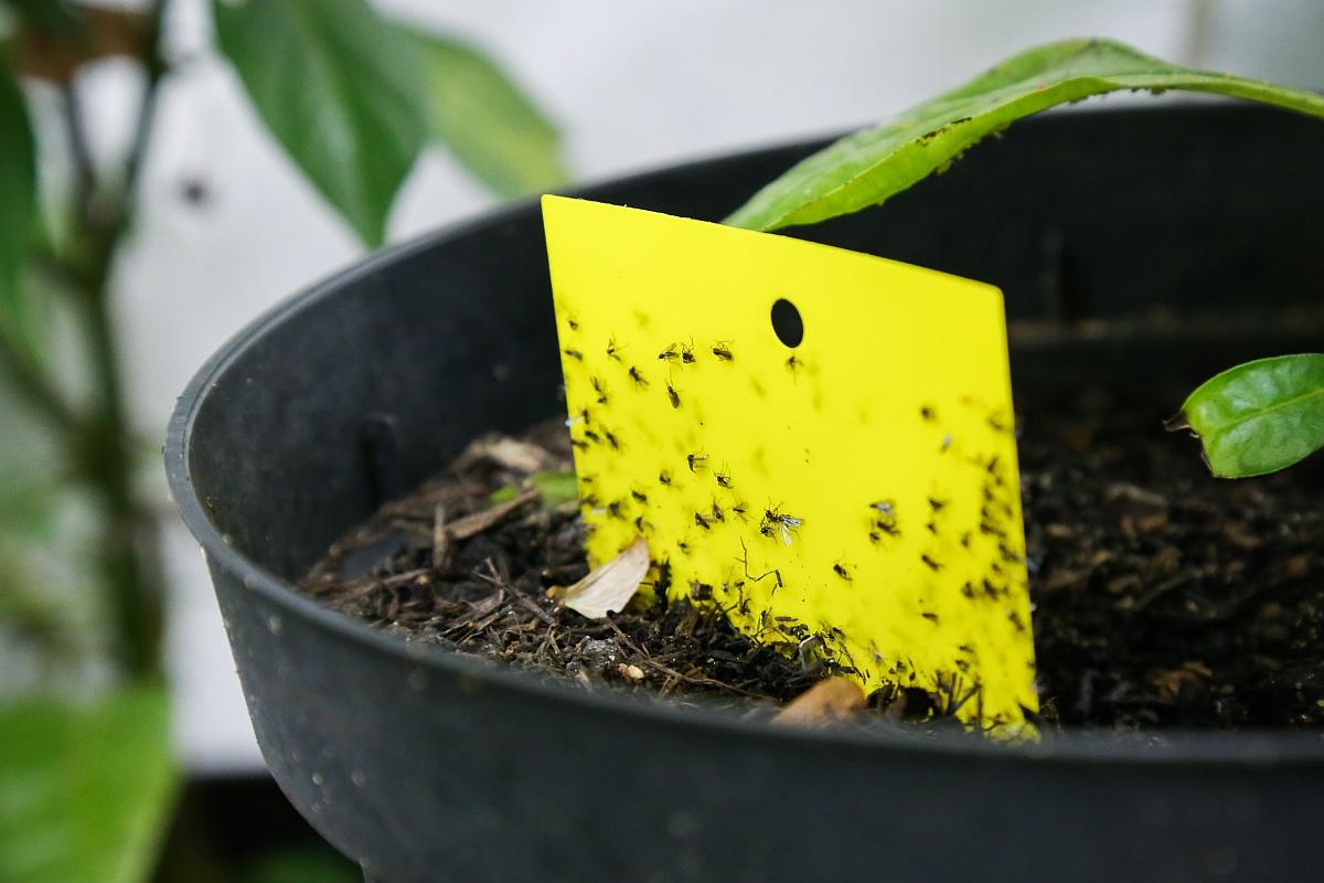 Chilis berwintern blattl use trauerm cken bek mpfen for Gelbsticker gegen fliegen