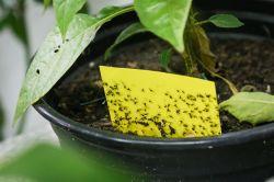 Gelbtafeln mit Trauermücken