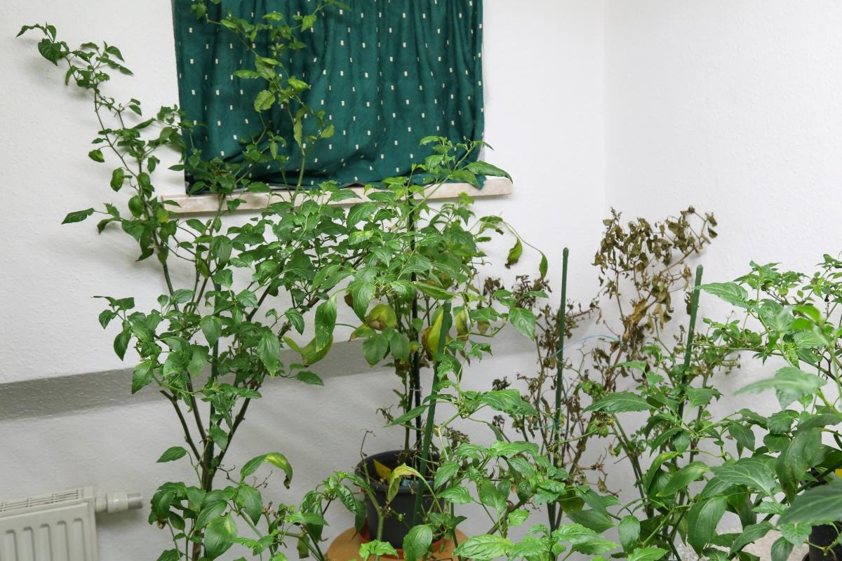 chilis 4 monate im winterquartier winter 2017 2018 majas pflanzenblog. Black Bedroom Furniture Sets. Home Design Ideas