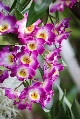 Dendrobium spec.