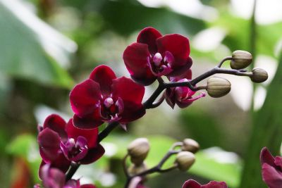 Phalaenopsis Dark Red