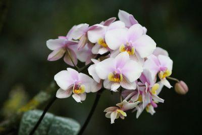 Phalaenopsis spec.