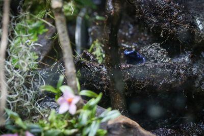 Blauer Pfeilgiftfrosch (Dendrobates tinctorius)