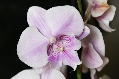Phalaenopsis 'Big Lip'