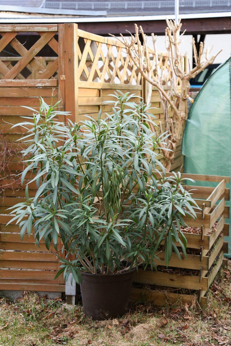 berwinterter oleander majas pflanzenblog. Black Bedroom Furniture Sets. Home Design Ideas