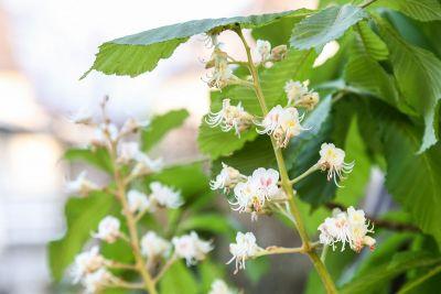 Blüten an Roßkastanie
