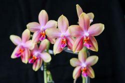 Phalaenopsis Liodoro mit 7 Blüten