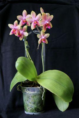 Phalaenopsis Liodoro Pflanze