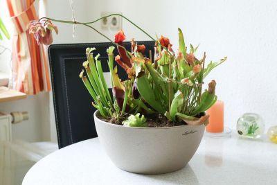 Schlauchpflanzen frisch eingetopft